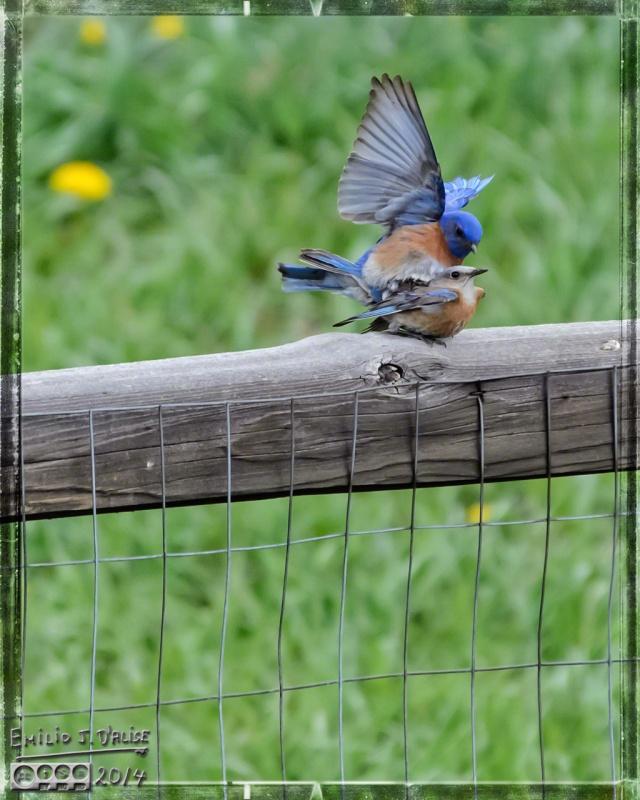 Birds, bluebirds,