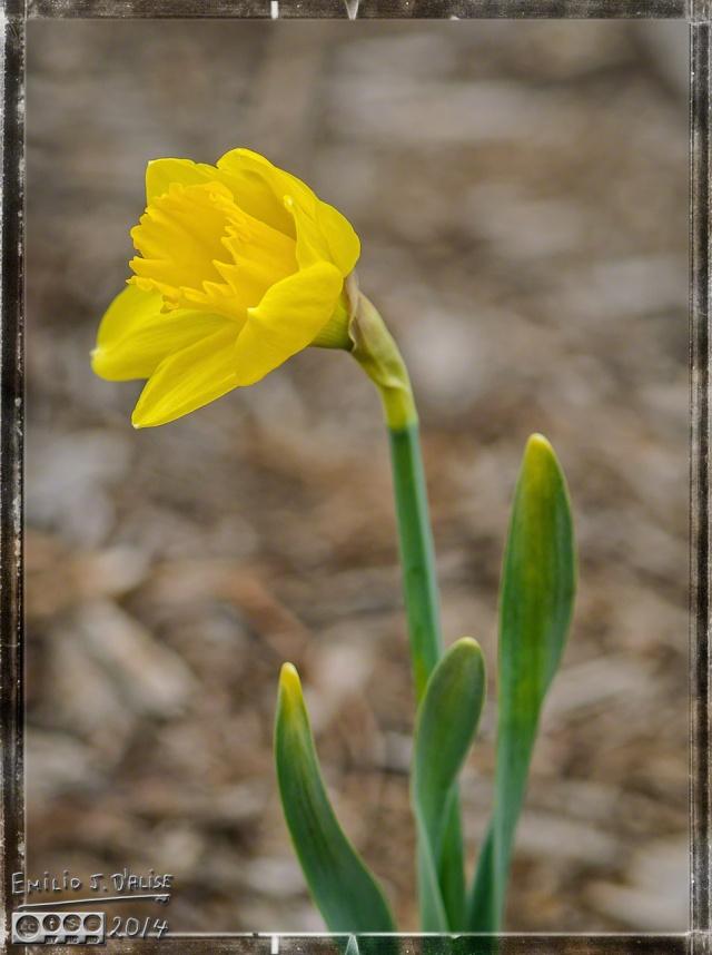 Plant Macros, Daffodils,