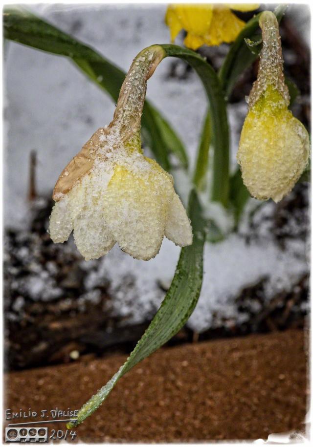 Bug, Daffodils,
