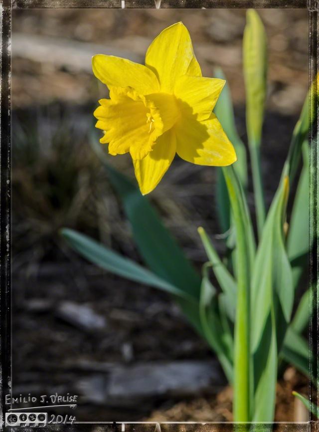 Daffodils,