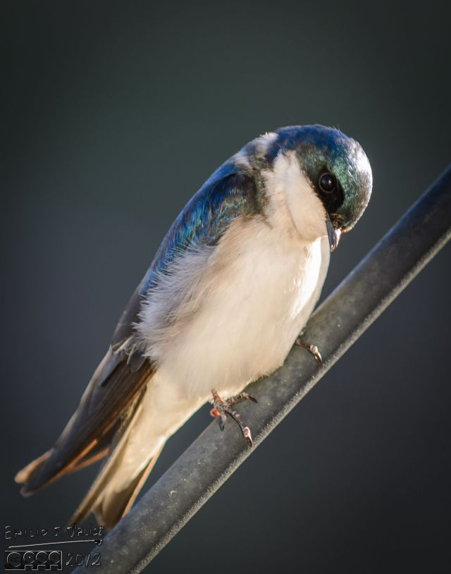 2013 Tree Swallows