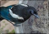 Birds, Magpie, Robin, Swallow,