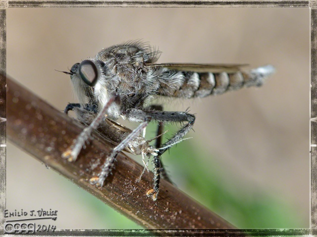 Bugs, Robber Fly,
