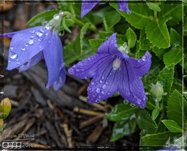 2014 Flowers, Rainy Day,