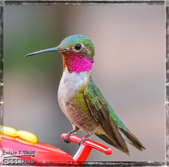 Hummingbirds,