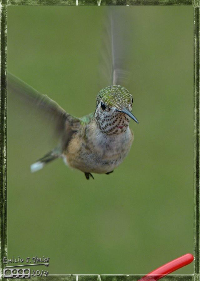 2014 Hummingbirds,