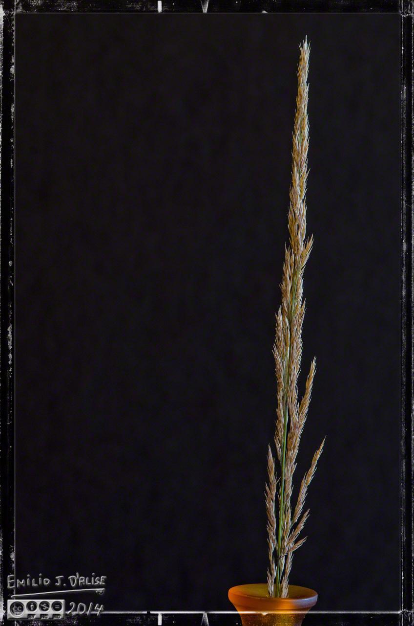 seeds, grass seeds