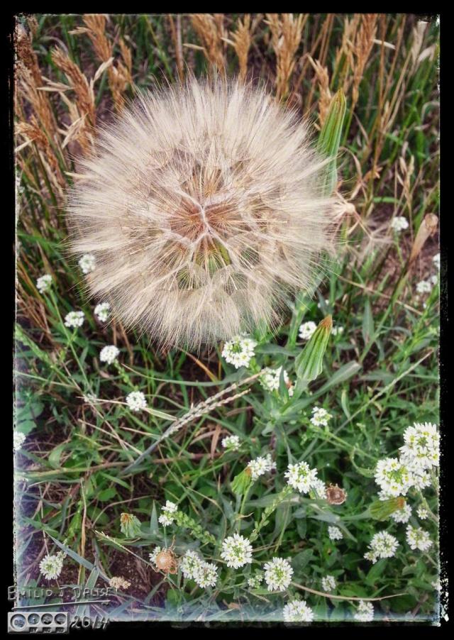 Salsify Seed Ball - Santa Fe  Trail, Palmer Lake - Colorado