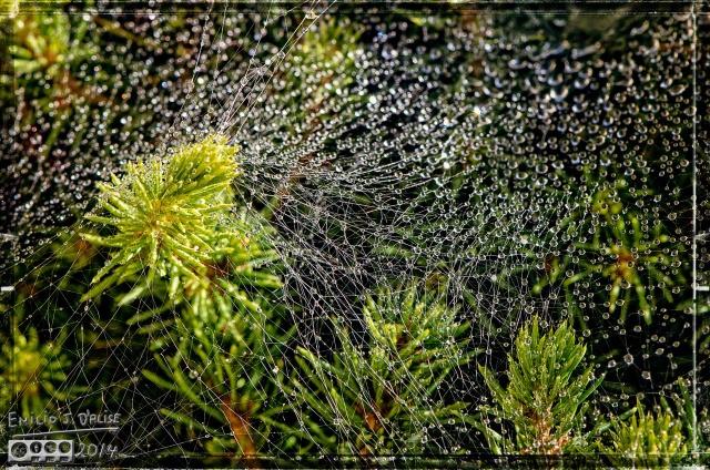 Cobweb,