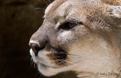 8444_Cougar