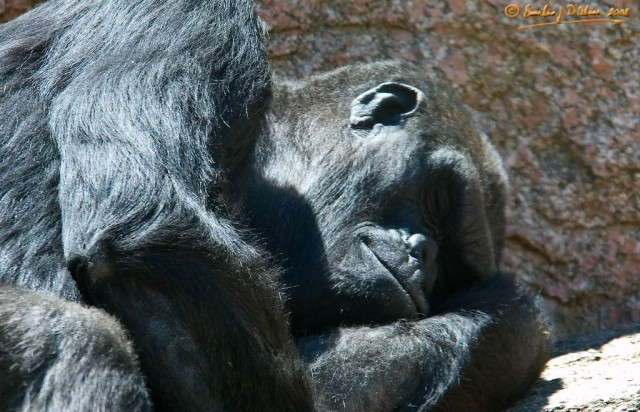 8451_Sleeping_Gorilla