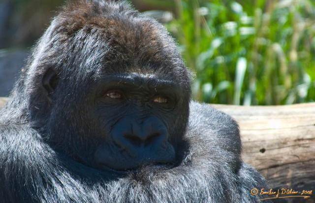 8455_Bored_Gorilla