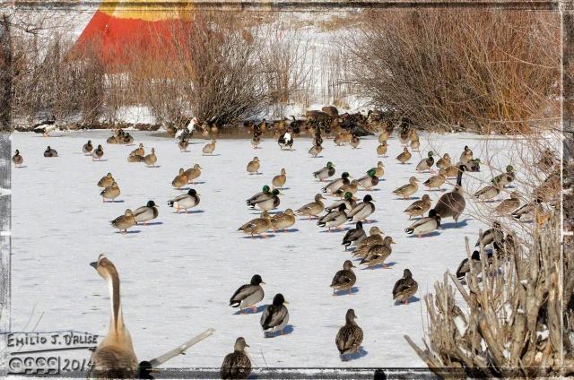 Ducks, Geese, Birds,