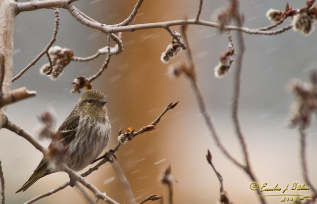 Bird_braving_snow
