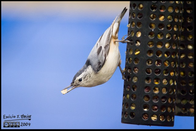 0001-red-brested-nuthatch
