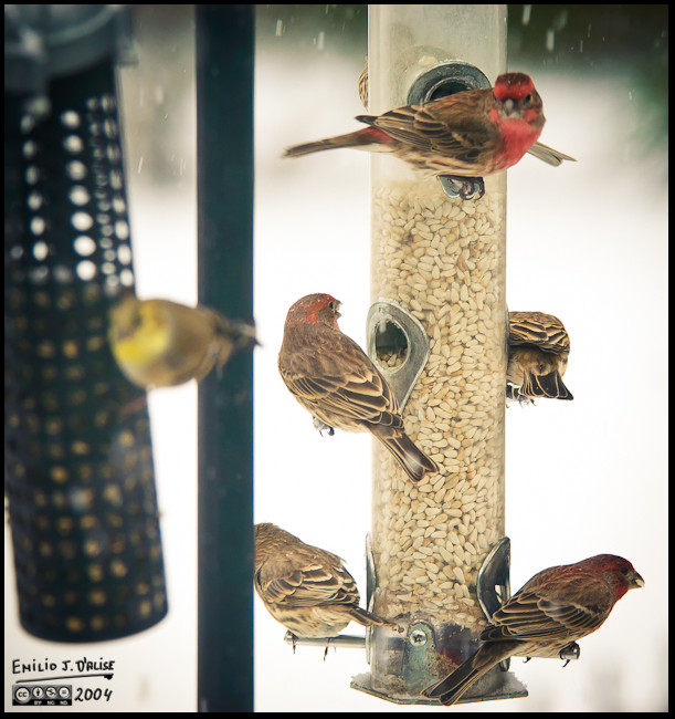 0036-finches-at-feeder