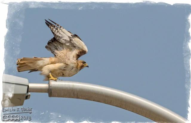 Hawk,