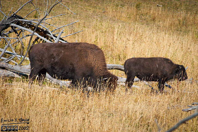 DSC_0009-buffalo_at_boiling-pots
