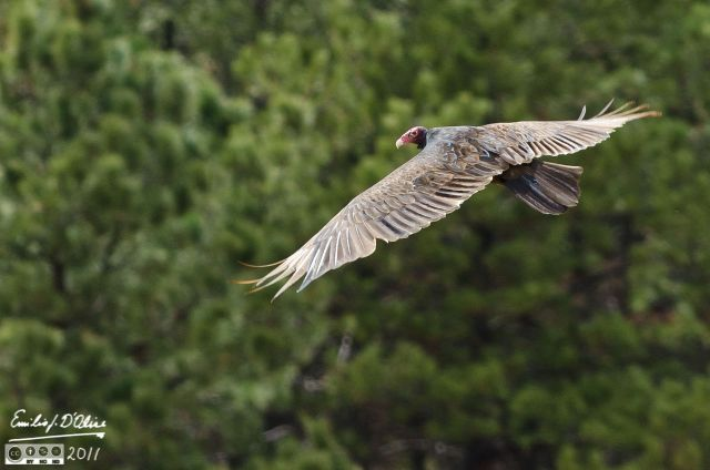 Vulture on the wing
