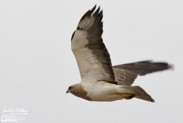 Crop of long-distance hawk on the wing