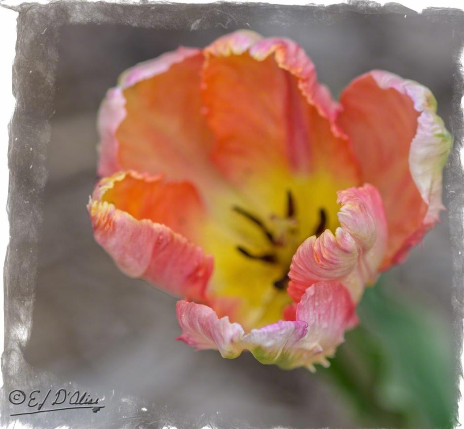 Parrot Tulips,