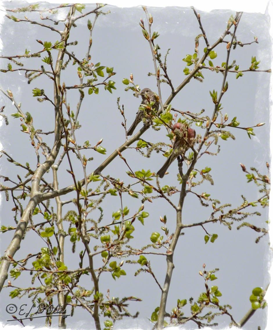 Red Finch - Aspen buds must taste good.