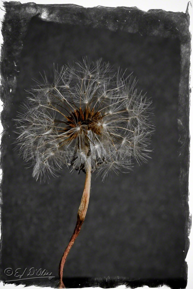 Dandelions against black
