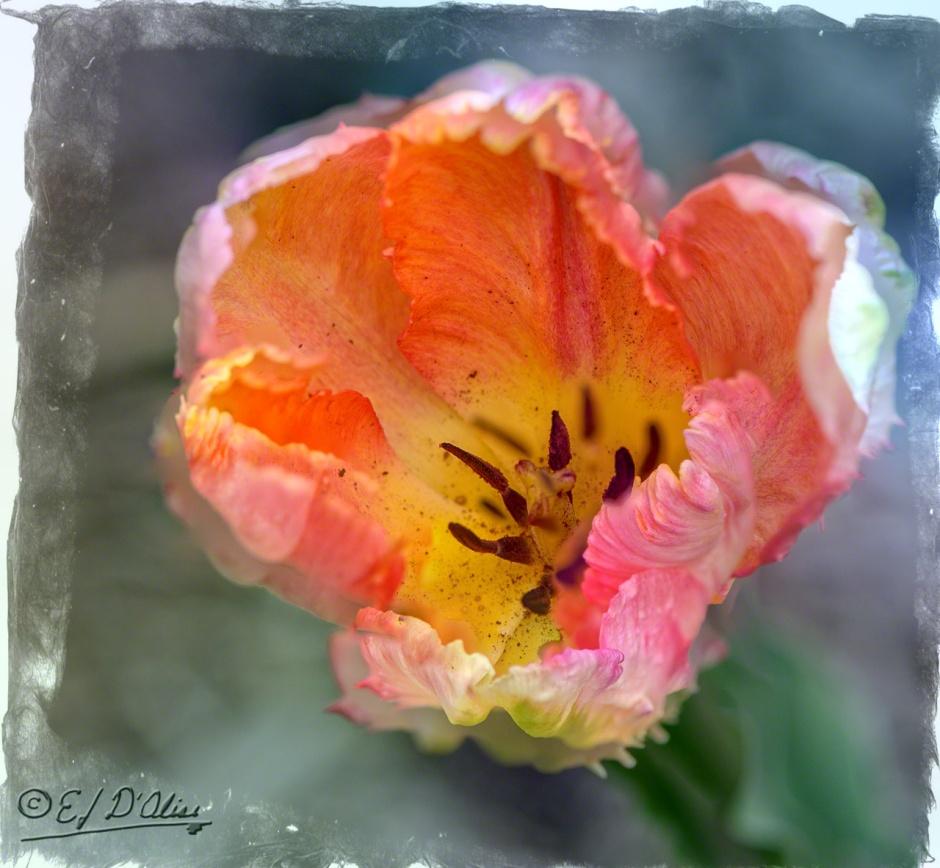 Blended Parrot Tulips