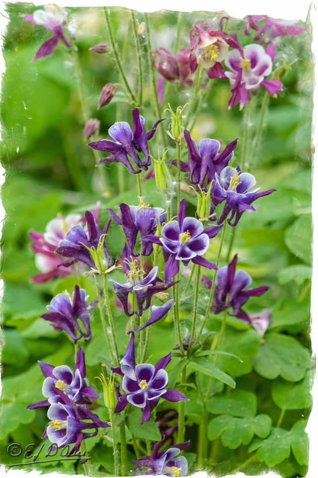 Columbines-purple-02-Processed_DIGI