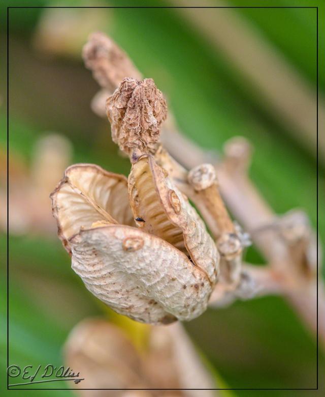 Yucca Plant flower pod