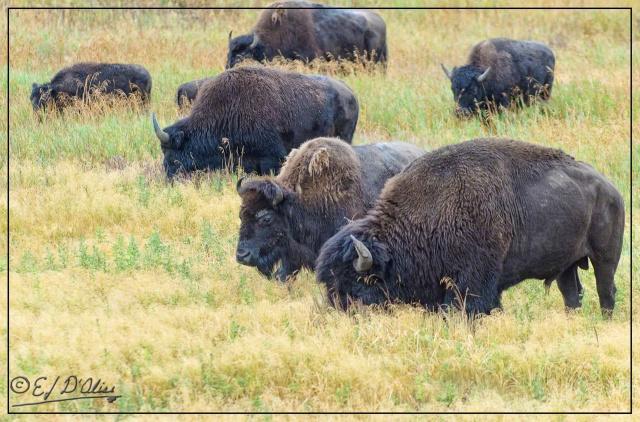 Yellowstone 2013, Buffalos