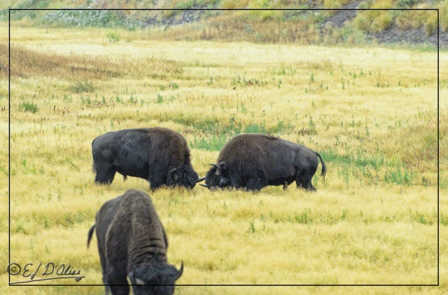 Yellowstone 2013, Buffalos posturing for mock battle