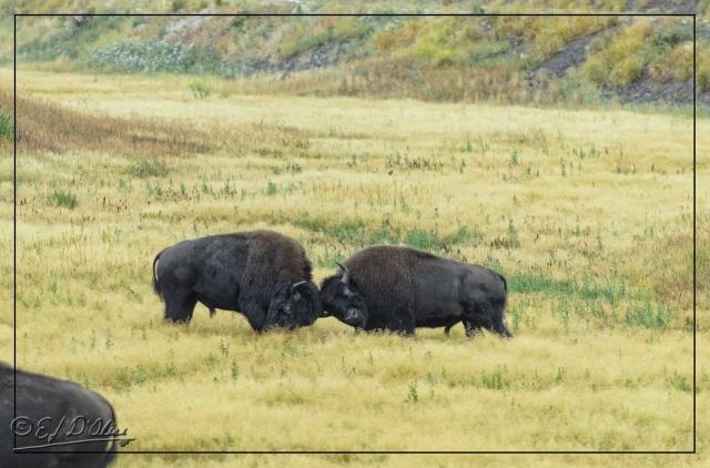 Yellowstone 2013, Buffalos engaging in mock battle.