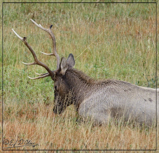 Yellowstone 2013, Elk looking like it found something interesting in the grass in front of it . . .