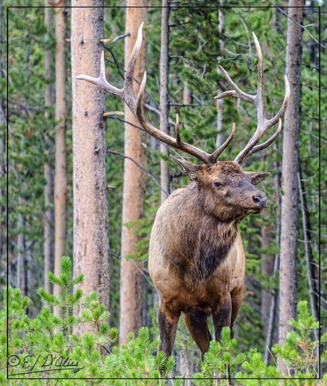 Yellowstone 2013, Elk - a fine specimen
