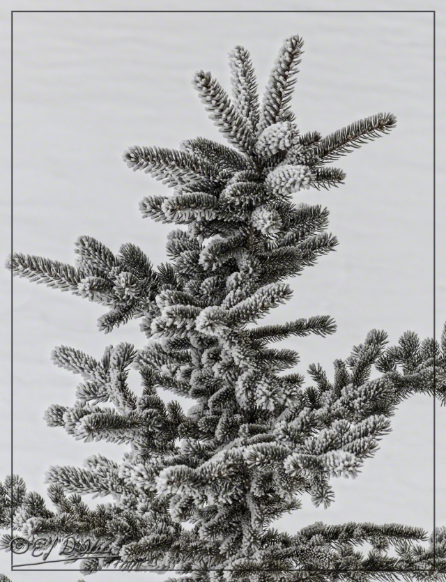 Different Short Needles Pine