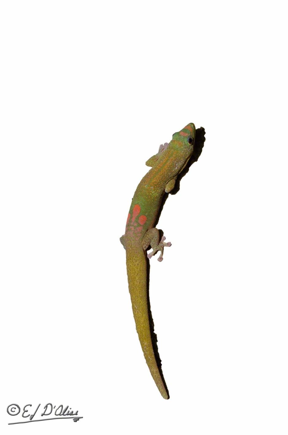 Gecko_DIGI