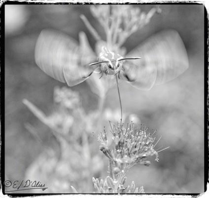 Hummingbird moth,