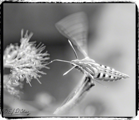 Hummingbird moth,