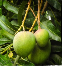 This is a tree on the property . . . and them be mangos. Here's the thing; smaller than a coconut, but they would still hurt if dropped on your head.