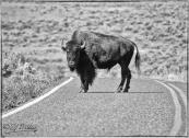 Road Bison