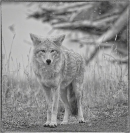 Road Coyote