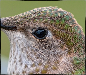 400% enlargement of crop around the eye - click for full size (5MB)