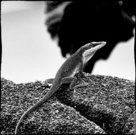 The Live Lizard
