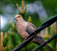 Dove-on-wire-01_mod_mod