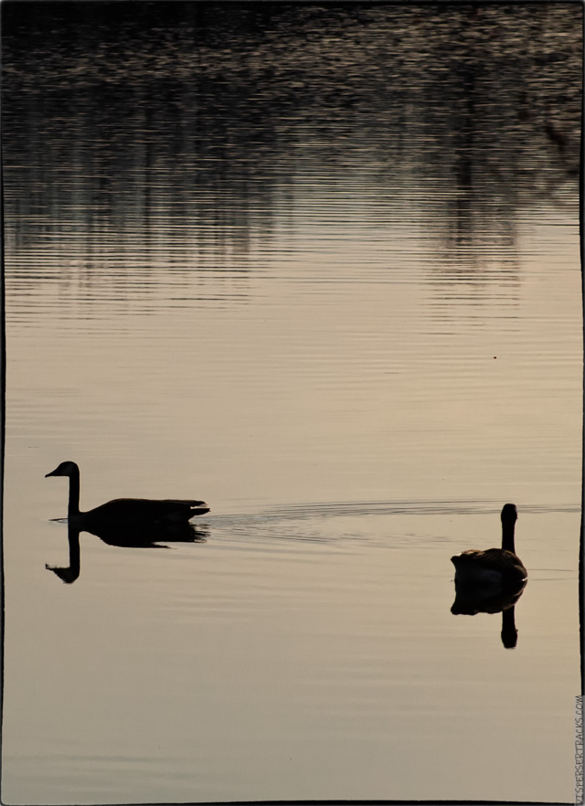 Canada Geese And The Moon Disperser Tracks