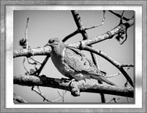 Dove in B&W