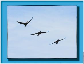 Cormorant formation