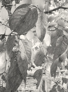 Fall Foliage in B&W and treated to Paper Artist.