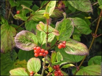 Deadly Alaskan berries!